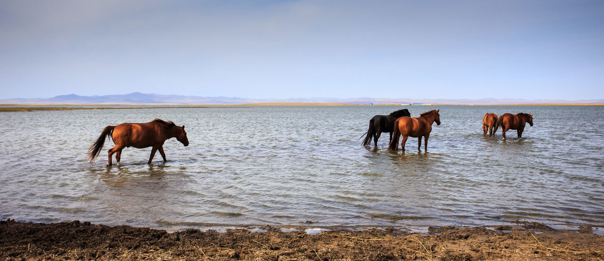 Horses walking in the lake Animal Animal Wildlife Animals In The Wild Beach Beauty In Nature Clear Sky Day Horses Landscape Mammal Nature No People Outdoors Sand Sky Water