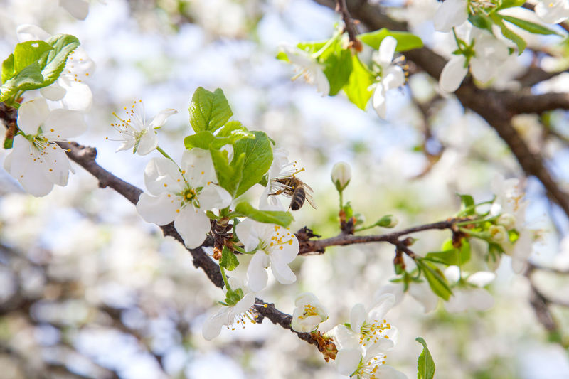 Bee Flower Honey Pollen Nectar Apple White Orchard Apiary Beekeeping Nature Spring Insect Macro Garden Green Blossom Plant Animal Nectar Pollination Petal Wild Wildlife Natural HoneyBee Season  Outdoor Bloom Wing Pollinate Blooming