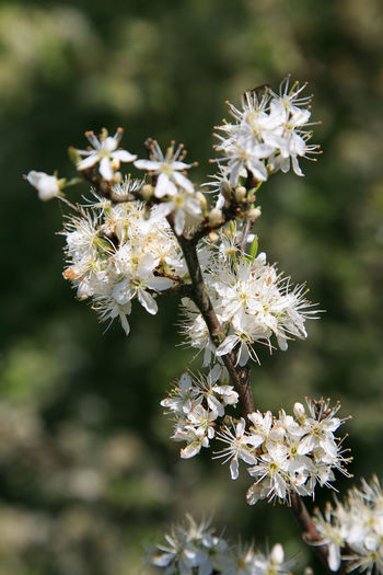Blooming blackthorn bush (Prunus spinosa) Prunus Spinosa Beauty In Nature Blackthorn Blossom Bush Close-up Day Flower Flower Head Flowering Plant Focus On Foreground Freshness Growth Hawthorn Hawthorn Blossom Healthy Nature No People Outdoors Petal Plant Pollen Shrub Springtime White Color