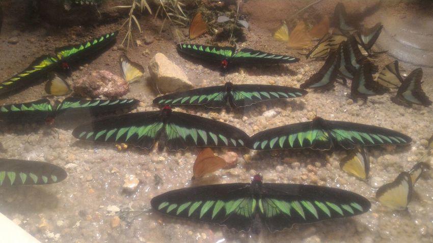 Botany Butterfly Kelebek Kelebeklervadisi Türkiye Konya