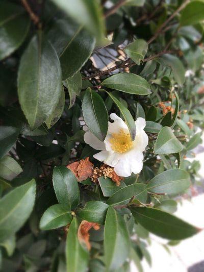 Kyoto Street Flower Kyoto,japan Kyoto Street White Camellia Sasanqua