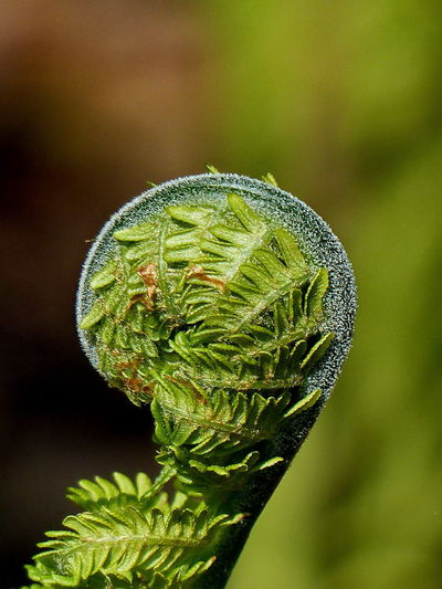 Beauty In Nature Close-up Day Fern Focus On Foreground Green Color Growth Nature No People Outdoors Plant Unrolling Young Fern The Week On EyeEm Perspectives On Nature