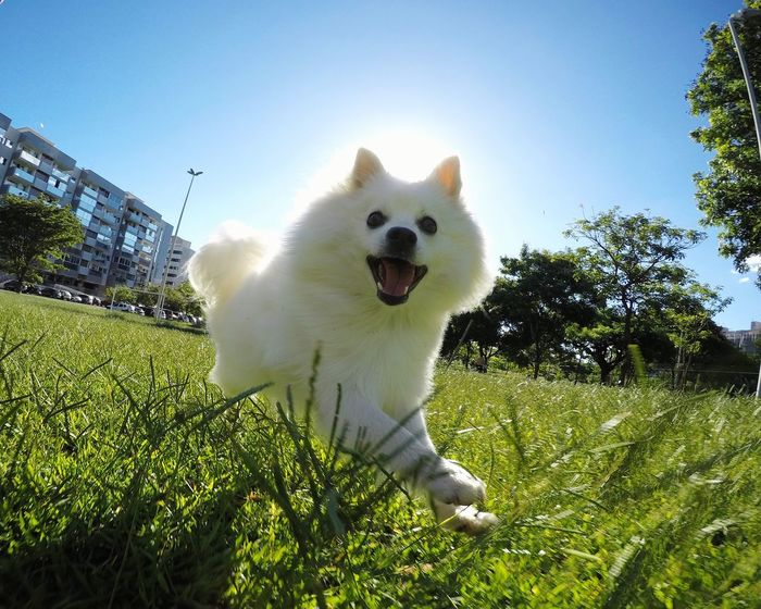 EyeEmNewHere EyeEm Selects Japanese Spitz Spitz Dog Photography Dogs Of EyeEm Animal Themes Dog Pets Outdoors Motion Sunlight Halo Fun Dog Playtime Dog Playing Happiness Sun Sunlight Sunny Day American Eskimo No People Outdoor Photography Saint Holyness