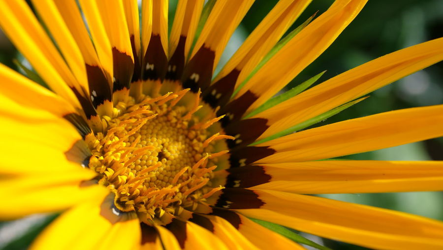 Flower Head Black-eyed Susan Flower Beauty Yellow Defocused Multi Colored Springtime Sunflower Petal