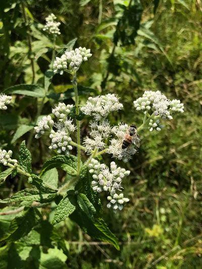 Milkweed, flower, summer, bees, pollen, busy working, gathering food