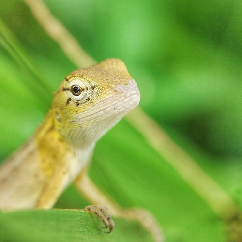 Lizard Reptile Portrait Close-up Green Color