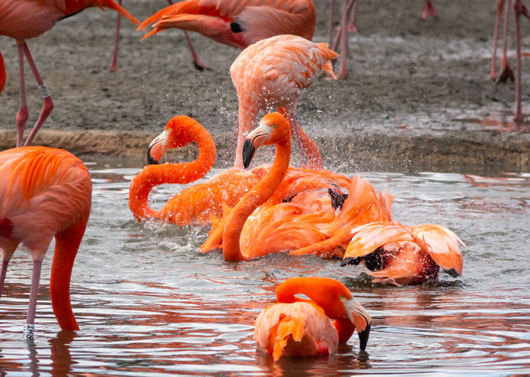 Bird Water Swimming Flock Of Birds Flamingo Lake No People Large Group Of Animals Chilean Flamingo Day Rippled Red Color