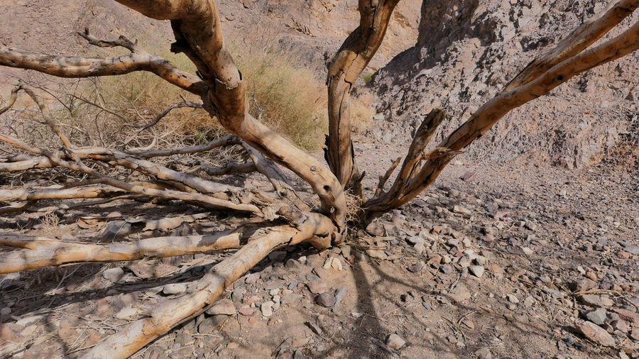 Bare tree in desert
