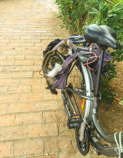 Bicycle Cat In Saddlebag. Cat Nap Cat Napping Do Not Disturb Cats Rule Footpath No People Snoozing Cat In Saddle Bag