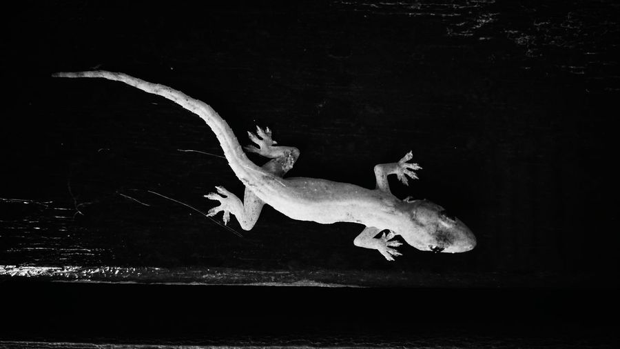 Gekko Animal Wildlife Animal Themes Gekke Foto  Black Background Black & White Black&white