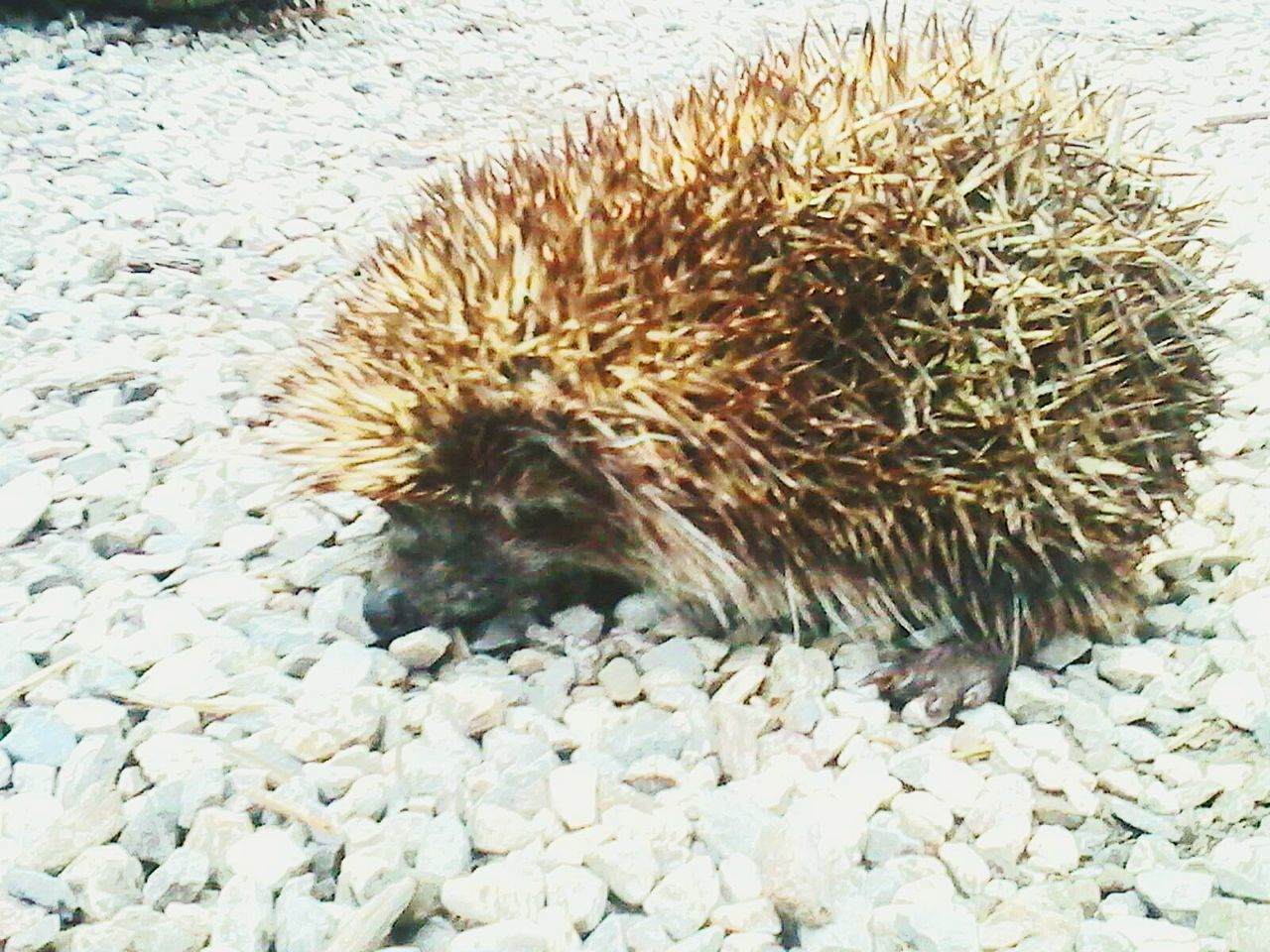 one animal, hedgehog, animals in the wild, animal themes, nature, animal wildlife, no people, spiked, mammal, day, outdoors, close-up