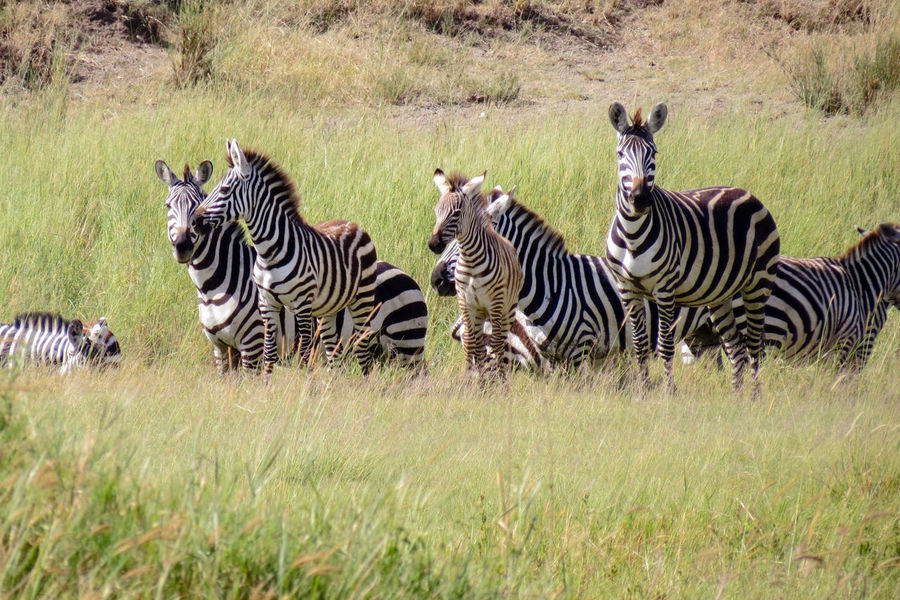 Zebras Waiting African Safari Animal Themes Animal Wildlife Animals In The Wild Great Migration Safari Adventure Safari Animal Safari Animals Striped Veld Wildlife Wildlife & Nature Wildlife And Nature Wildlife Photography Wildlife Photos Zebra Zebra Herd Zebra Print Zebra Stripes Zebras