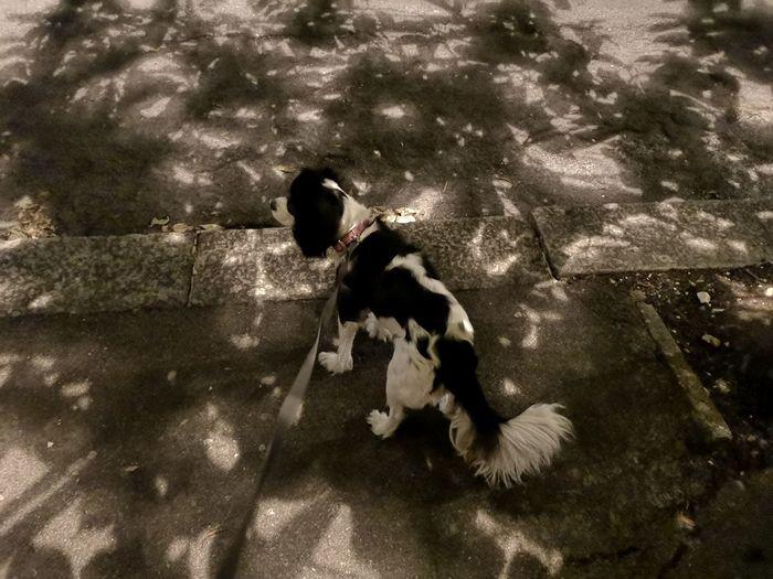 Late night walk Shadows & Lights Shadow Cavalier King Charles Spaniel Street Light Nightphotography Night Lights Night Photography Light And Shades Pets High Angle View Dog Pet Collar Canine Dog Lead