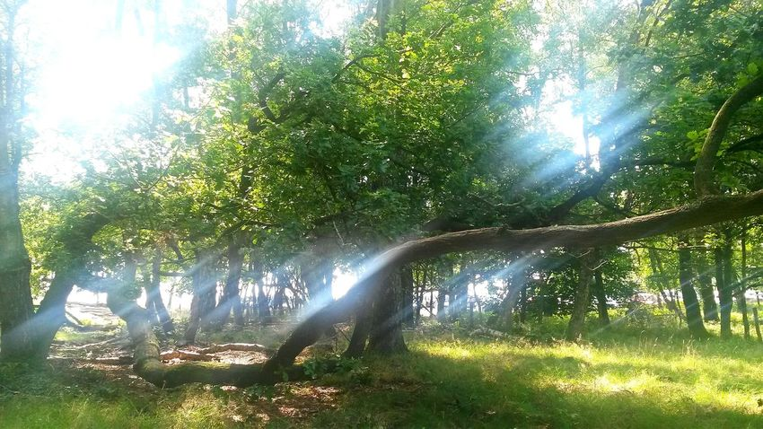 The Magic Mission Sunrays Sunrays Through The Leaves Sunray Of Light Sunbeam Tree Sunlight Grass Tranquil Scene Green Color Tranquility Sun Sunny Nature Beauty In Nature Non-urban Scene Majestic Scenics