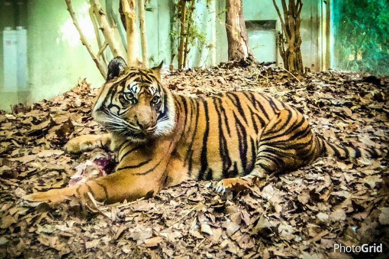 Tiger Zoo Tiger Frankfurt Zoo Laying Down Tiger Motus Natura