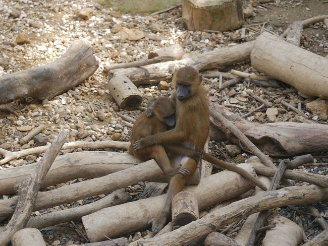 Baby Family Zoo Animal Themes Animal Wildlife Animals In The Wild Baboon Day Mammal Monkey Nature No People Outdoors