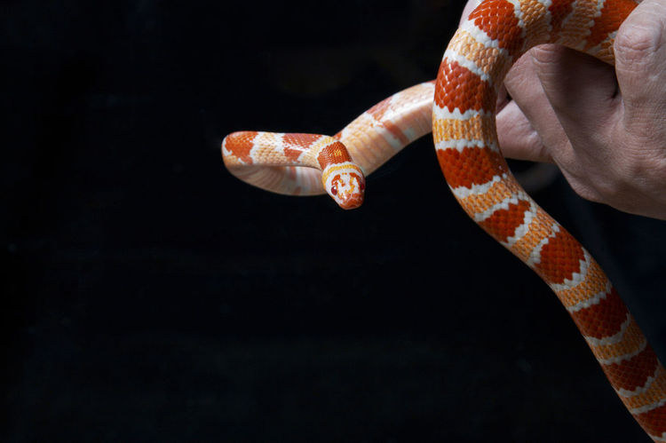 Corn Snake on the black background Black Background Pantherophis Guttatus Reptile Snake Species Amphibian Animal Themes Animal Wildlife Cold Blooded Corn Snake Crawl Harmless North American Pet Small