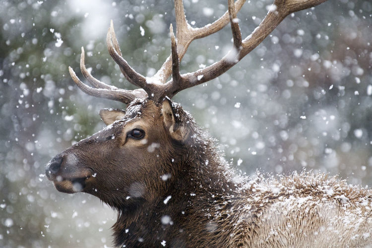 Close-up of deer in snow