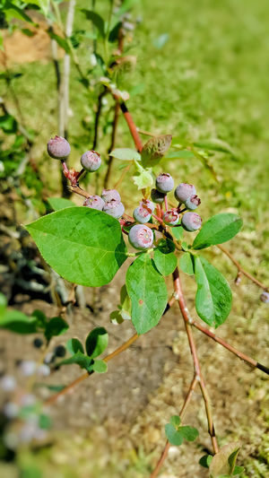 blue berries Berries Blue Berries Bush Blue Berry Plantation Freshness Fresh Fruits Growth Food Healthy Food Healthy Eating Good Food Springtime Fresh Produce Organic Organic Food Nature Plant Life Growing Leaf Insect Close-up Animal Themes Green Color Plant