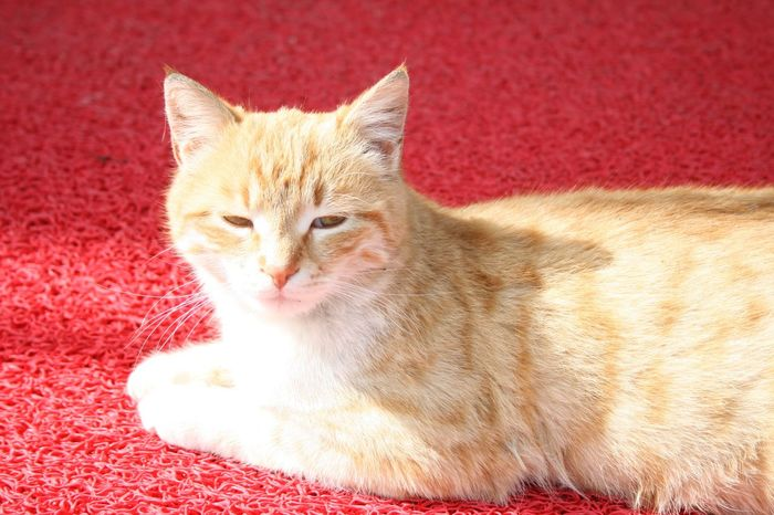 #Bright #animal #cat #sleepy Animal Cat Close-up Domestic Cat Lying Down Mammal No People One Animal Pets Portrait Red Relaxation Resting