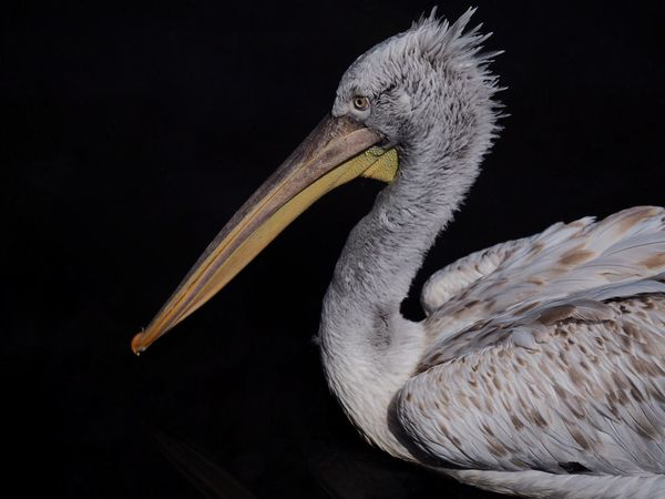 Portrait of a Pelican One Animal Bird Animals In The Wild Animal Wildlife Animal Themes Beak Black Background No People Pelican Close-up Animal Portrait The Week On EyeEm Contrast Winged Wilderness Nature Photography Wild Wildlife Wildlife & Nature Pelikan Pelicans Bird Photography Outdoors Nature