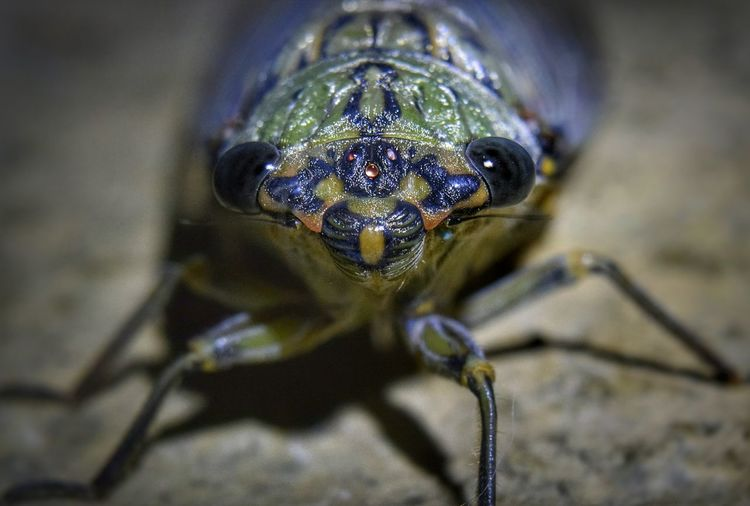 Macro shot of a large Cicada. Animal Wildlife Close-up Insect Zoology Selective Focus Arthropod Arachnid Cicada Insects  Macro Macro Photography Macro_collection Macro Insects Macro Beauty