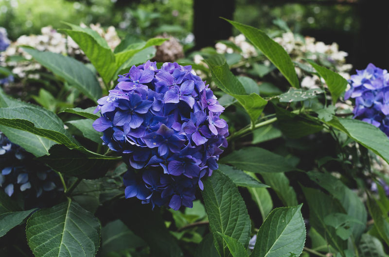 purple hydrangea flowering plant Beauty In Nature Botanical Garden Botanical Species Botany Close-up Day Flower Flower Head Flowering Plant Fragility Freshness Green Color Growth Hydrangeas Inflorescence Leaf Lilac Nature No People Petal Plant Plant Part Purple Vulnerability