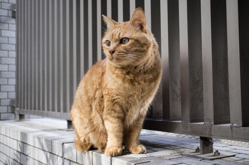 161106 Tin-Tin Animal Themes Animals Cat Cat Lovers Contemplating Creamy Day Daytime Domestic Animals Domestic Cat Feline Feline Portraits No People One Animal Outdoors Pet Photography  Pets Portrait Procrastinating Red Tabby Sitting Tin-tin