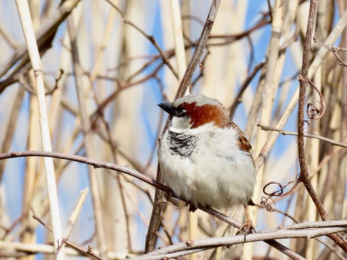 House sparrow birds of EyeEm perched on a bare tree branch birdwatching focus on the foreground beauty in nature outdoors Animal Themes No People One Animal