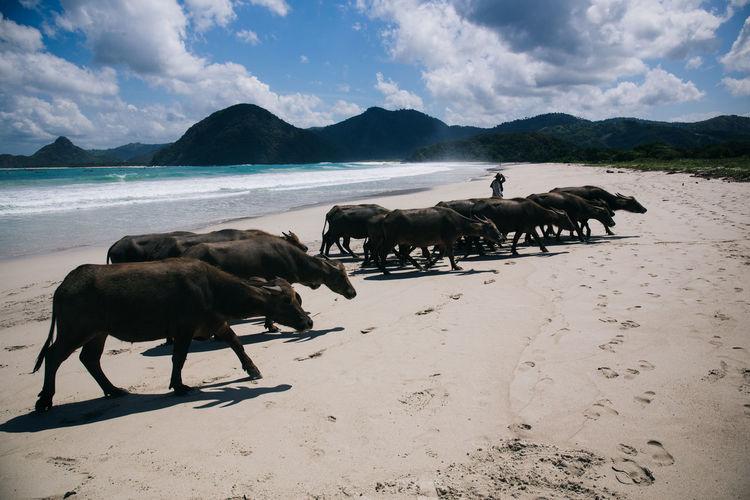 Cows on beach against sky
