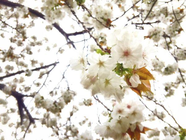 EyeEm Tokyo Meetup 8 Cherry Blossoms Sakura Sakura2015 EyeEm Nature Lover