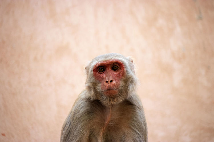 Moneky face - Agra One Animal Primate Portrait No People Looking At Camera Sitting Animal Hair Monkey Face