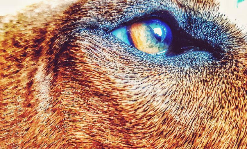 Eyedog Eyerhodessianridgeback Rhodesian Ridgeback Dogeyes Dog Dogs Lioneye Liondog Dogs Of EyeEm Dogslife Doghunting Be. Ready.