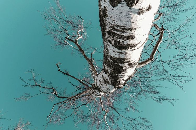 Sky Perspective Walking Around Scenics - Nature Sunlight Upward View Low Angle View Treetop Bare Tree Bark Twig Branch Nature Beauty In Nature Outdoors Beauty In Nature Backgrounds Tree Trunk Tree Birch Birch Tree Plant Close-up Plant Life Growing Turquoise Colored Fragility Growth Plant Bark 17.62° My Best Photo