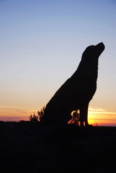 Silhouette Sunset One Animal Nature Mammal Animal Themes Sky No People Outdoors Landscape Domestic Animals Clear Sky Beauty In Nature Day Dog Sunset