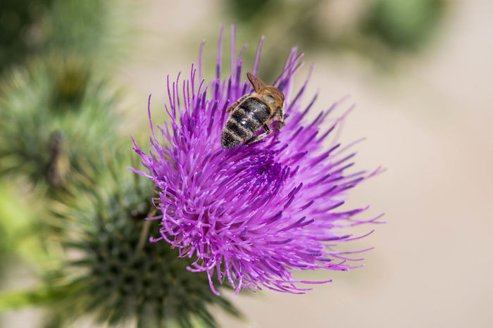Bee and thistle Animal Animal Themes Animal Wildlife Animals In The Wild Beauty In Nature Bee Close-up Flower Flower Head Flowering Plant Fragility Freshness Growth Insect Invertebrate Nature No People One Animal Outdoors Petal Plant Pollination Purple Vulnerability