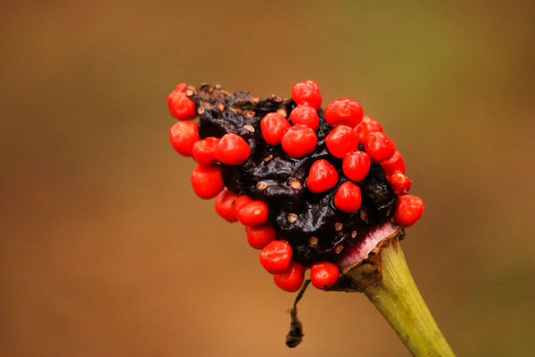 Close-up of red berries on branch