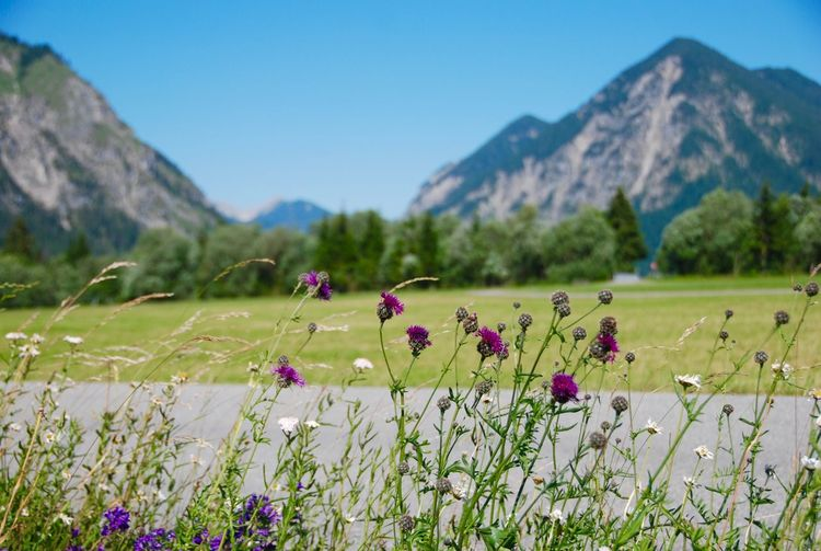 Purple flowers on field by mountains against sky