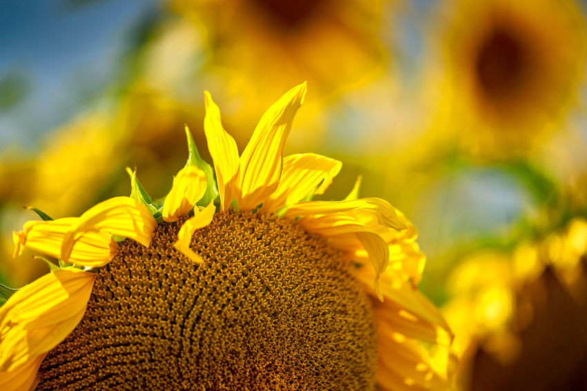 Sonnenblume Beauty In Nature Close-up Day Flower Flower Head Flowering Plant Focus On Foreground Fragility Freshness Growth Inflorescence Nature No People Outdoors Plant Pollen Selective Focus Sunflower Yellow