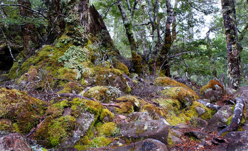Tasmania Australia Nothofagus Mossy Rock Moss Cradle Mountain - Lake St Clair National Park Lake St Clair Mount Rufus Tree Plant Forest Rock Beauty In Nature Tranquility No People Growth Scenics - Nature WoodLand Outdoors Non-urban Scene Tranquil Scene World Heritage