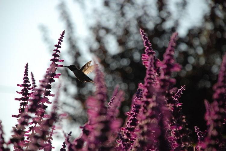 Close-up of hummingbird pollinating on flower