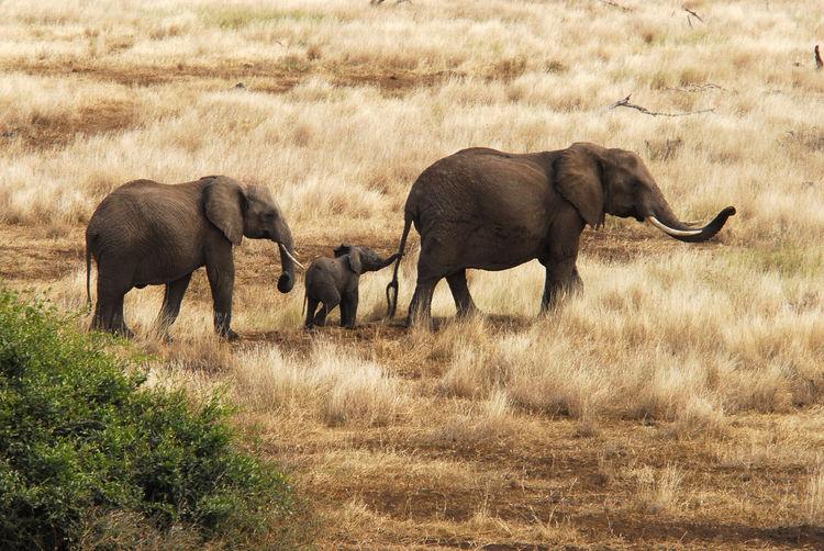 Elephants walking on dry grassy field