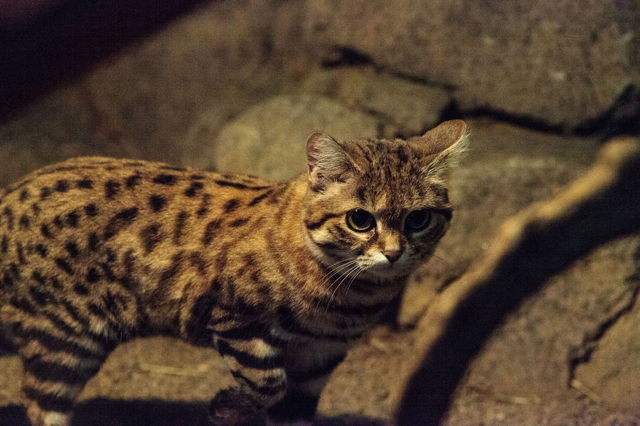 Black-footed cat Felis nigripes is the smallest cat found in Africa Animal Themes Black-footed Cat Close-up Day Domestic Animals Domestic Cat Feline Felis Nigripes Indoors  Looking At Camera Mammal Nature Nature No People One Animal Pets Portrait Small Cat Spotted Wildanimal Wildlife