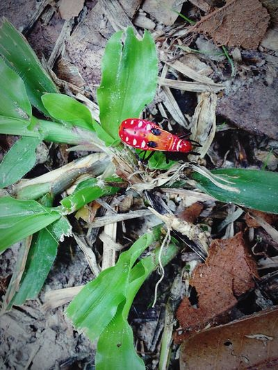 Incect Red Insect Animal Grass Small Affter The Rain