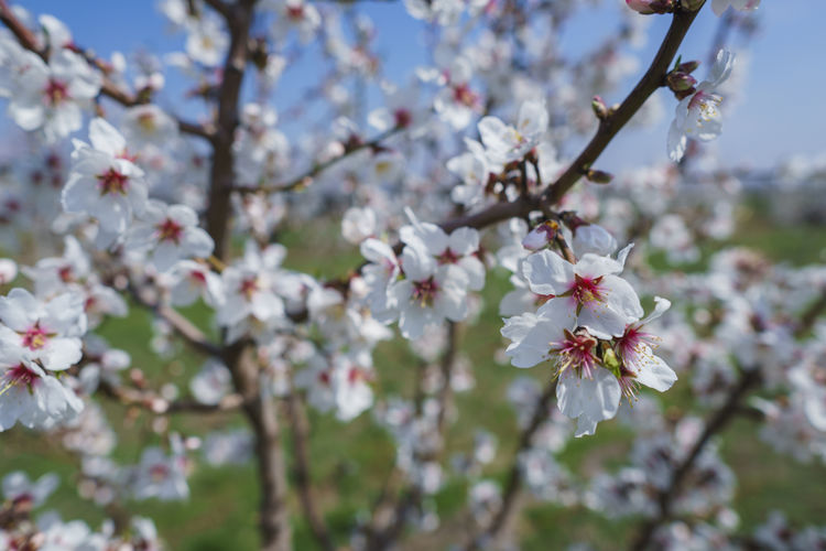 Flowering Plant Flower Plant Fragility Blossom Tree Freshness Beauty In Nature Branch Vulnerability  Growth Cherry Blossom Springtime Petal Nature Fruit Tree Close-up Apple Tree Day Twig No People Flower Head Cherry Tree Pollen Outdoors