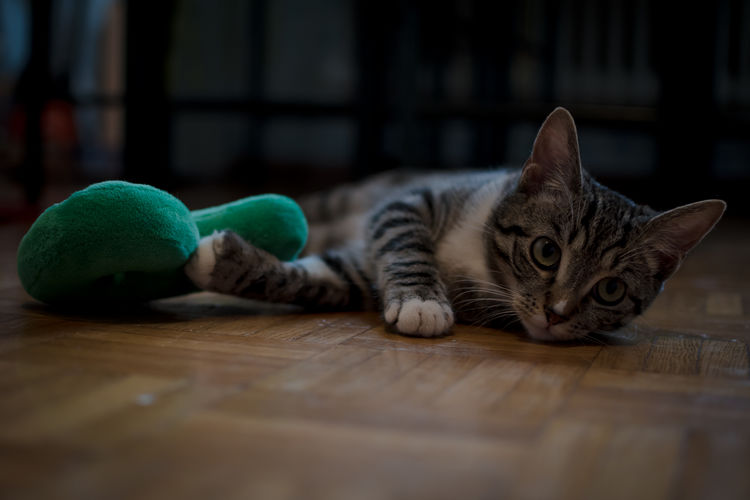 Portrait Of Kitten Lying On Hardwood Floor