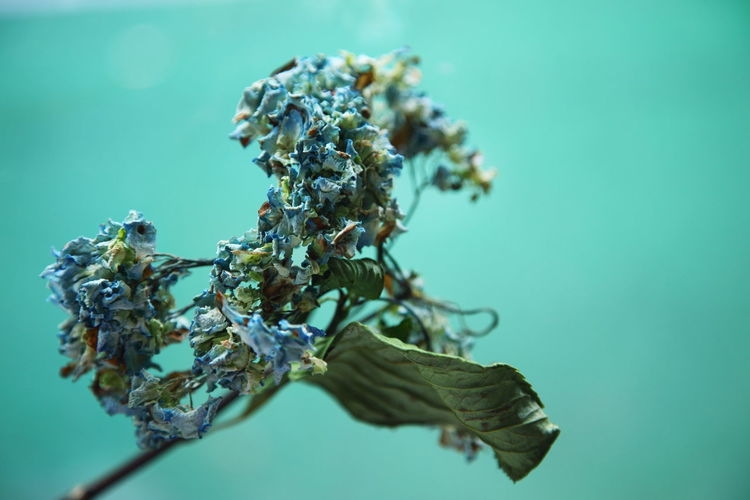 Close-up of dried hydrangea flowers against turquoise background