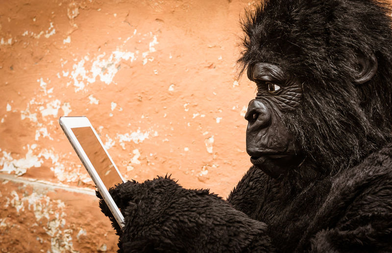 Gorilla using tablet electronic device - Technology adaptation concept Adaptation Adapting Digital Transformation Gorilla Monkey Ape Evolution  Computer Funny Technology Tech Connection Animal Glass Learning Education Thinking Laptop New Smart Gadget Clever Internet Innovation