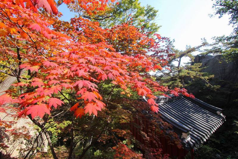 Red tree leaves in Bukhansan National Park during autumn season in Seoul, South Korea. ASIA Autumn Beauty In Nature Bukhansan Bukhansan National Park Fall Korea Korean Leaf Nature Outdoors Popolar  Red Season  Seoul South Korea Tour Tourism Travel Tree