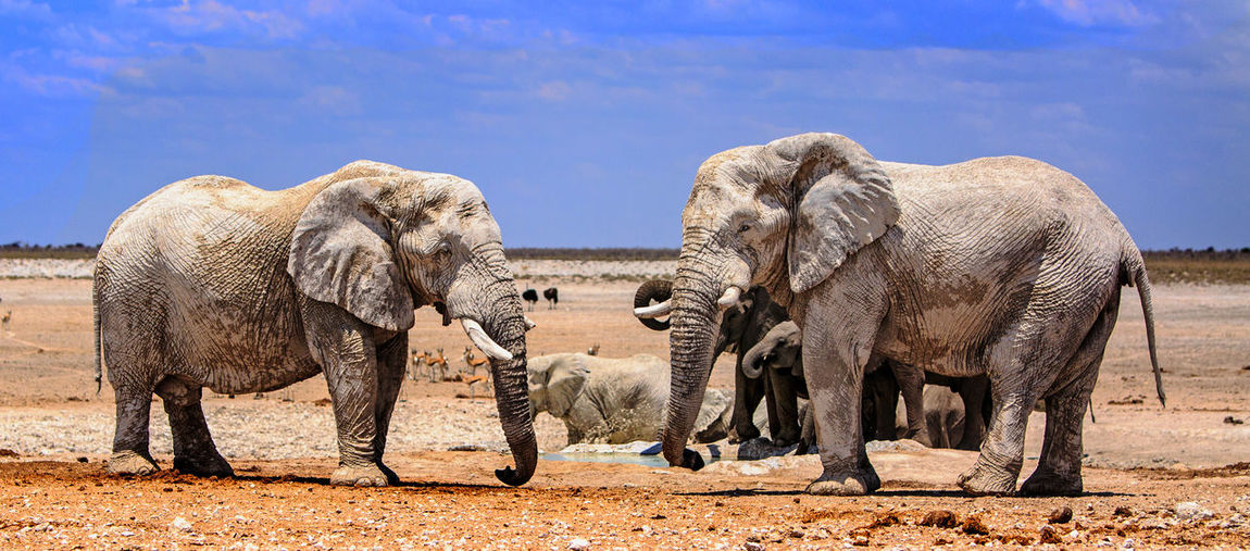 Elephants resting on the Etosha plains after taking a drink and bathing African_wildlife, Animal Themes Animals In The Wild Elephant Etosha National Park Full Length Herbivorous Landscape Mammal Namibia Nature Outdoors Safari Animals Sky Standing Two Animals Wildlife